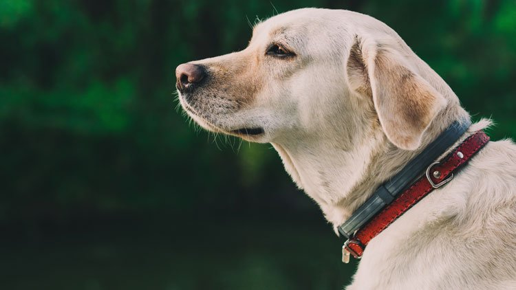 How to become a Guide Dog Trainer | reed.co.uk